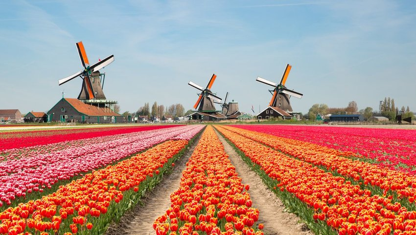 Rows of flowers at Keukenhof Gardens with windmills at the end