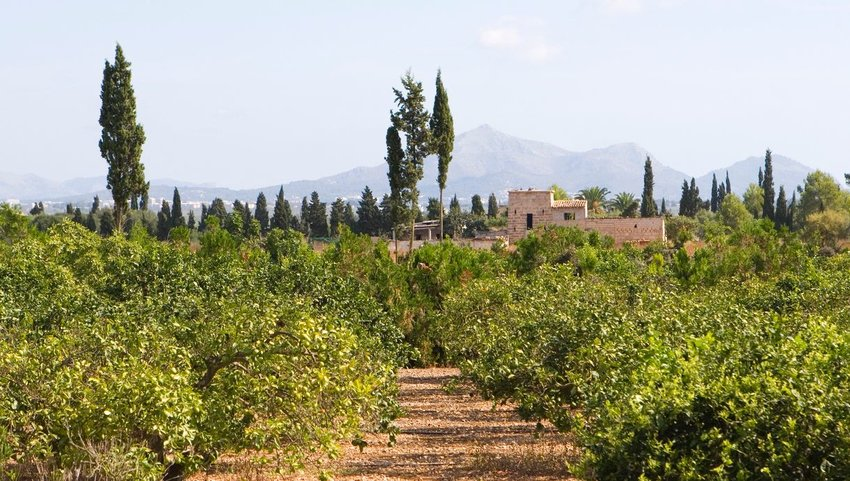 Orange grove in Mallorca with mountains in the distance