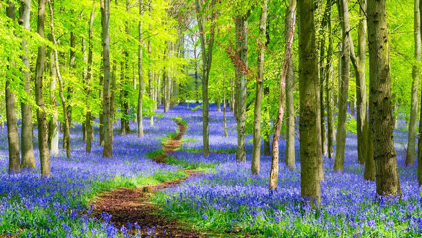 Forest covered in bluebells with a walking path between