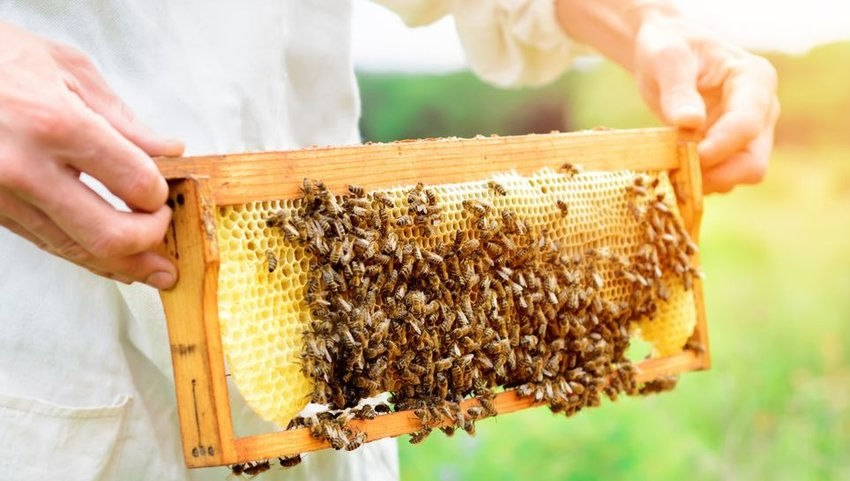 Beekeeper holding honeycomb full of bees