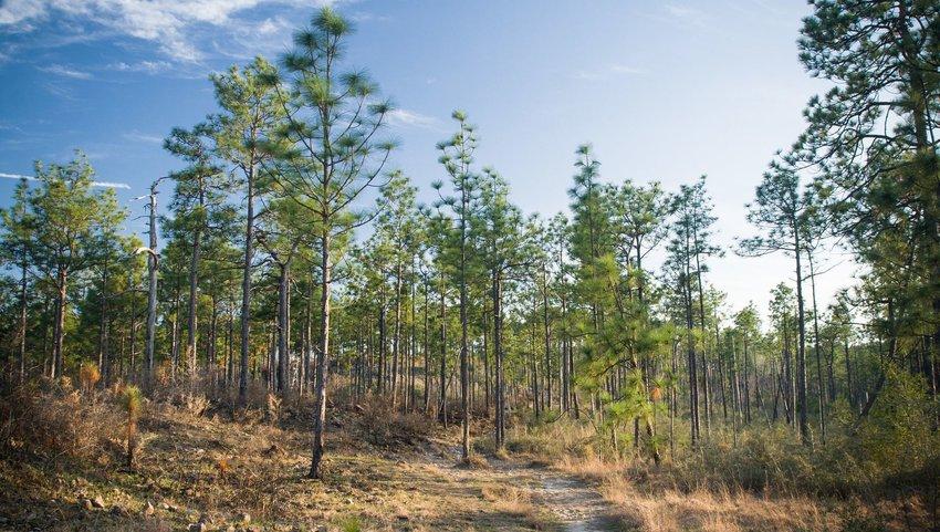 Kisatchie Hills Longleaf Pines in Kisatchie National Forest