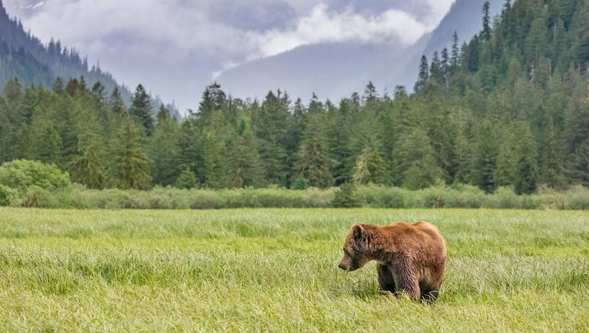 Bear standing in a field with trees and mountains in the background