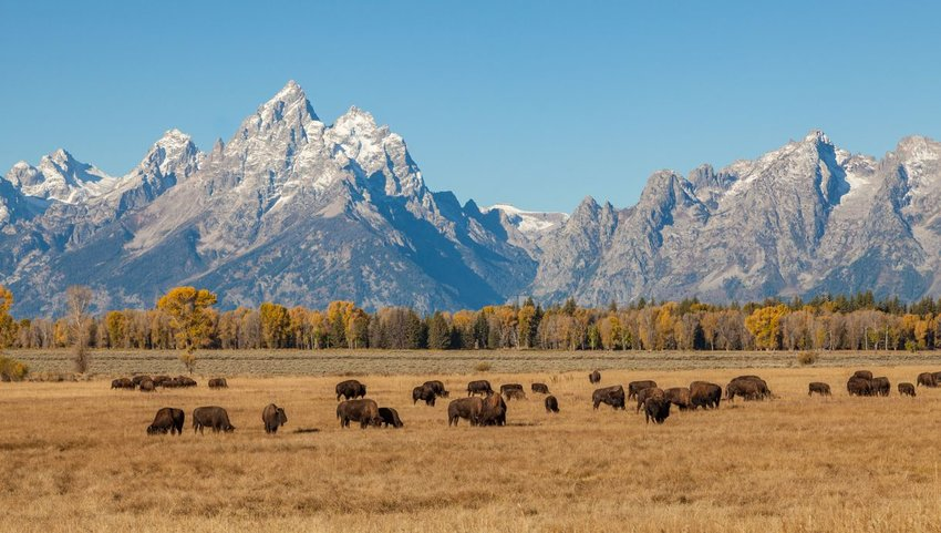 Grand Teton mountains with field of buffalo in front