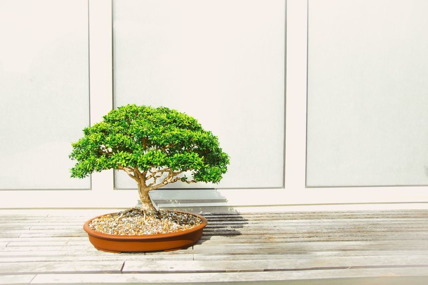 On The Care And Keeping Of A Bonsai Tree The Discoverer