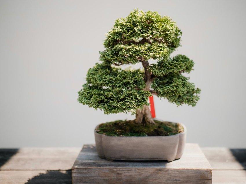 An ornamental bonsai pot