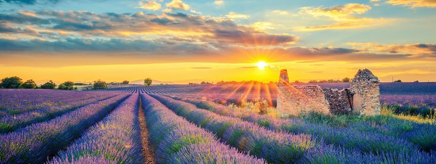 A lavender field in France. Photo: prochasson frederic