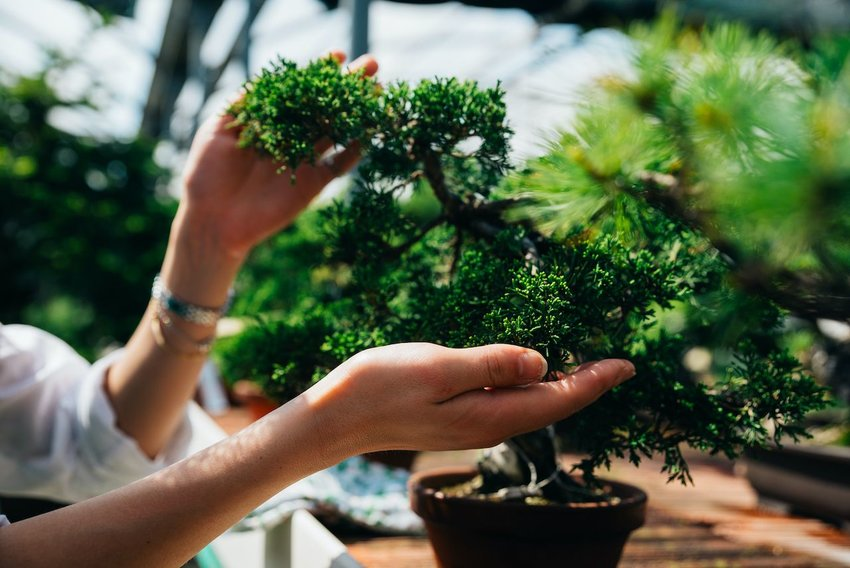 Caring for a bonsai tree