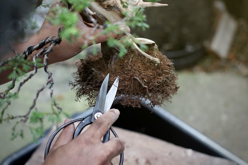 Trimming bonsai roots