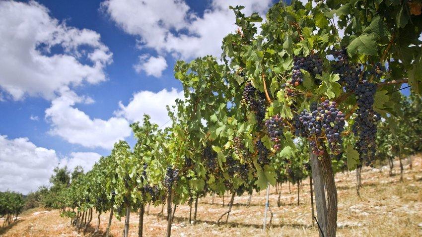rolling vineyards in the Galilee Israel