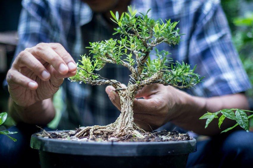 Wiring a bonsai tree