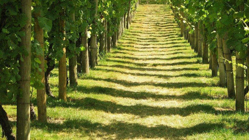 Vineyard in England
