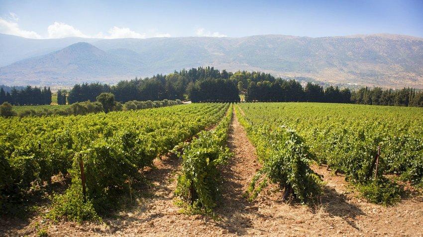 Vineyard in Lebanon