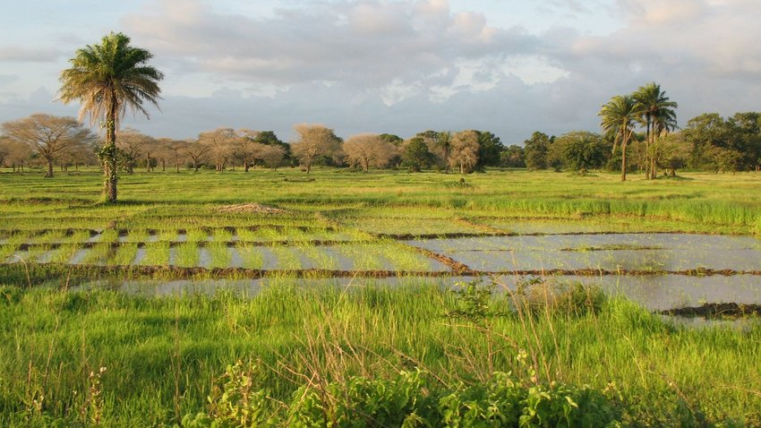 Photo by Cesar J. PolloA landscape near of Diouloulou with rice crops in the region of Casamance, Senegal