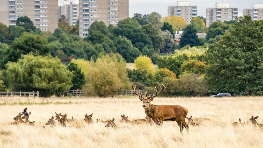 Deer in Richmond Park. Photo by Edoardo Legnaro.