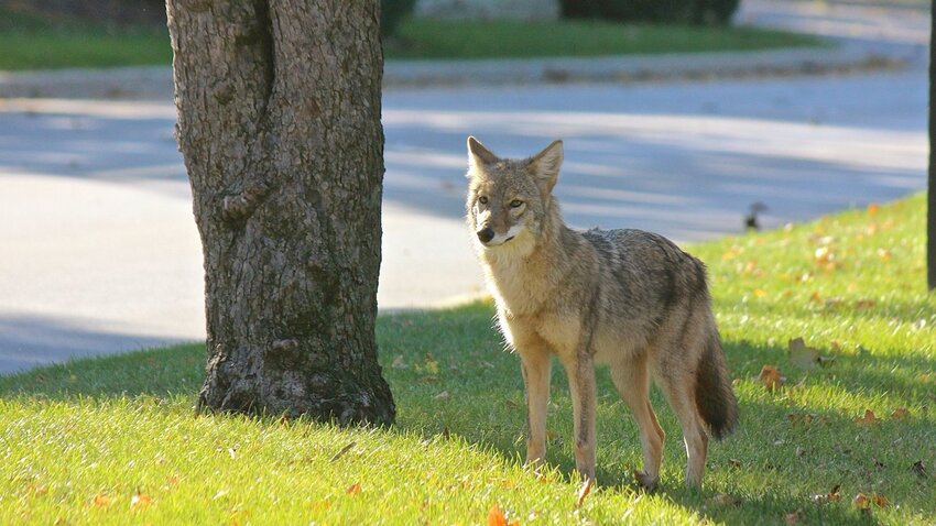 Coyote in suburban Chicago. Photo by Michael Heimlich.